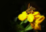 honey bee collecting pollen on yellow flower poster