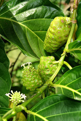 noni yacon mora de la india 3