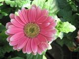 wonderful pink gerber daisy poster
