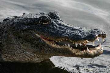 alligator eating catfish