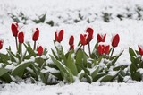 Fototapety tulips in a snow