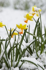 narcissuses in a snow