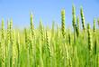 canvas print picture green grain