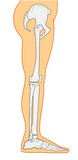 human anatomy showing leg skeletal bones side poster