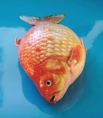 gold carp 2