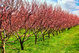 fruit orchard - Fine Art prints