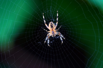 radiographic picture of a spider