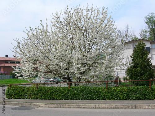 Albero di ciliegio di claudio foto stock royalty free for Albero ciliegio