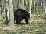 un ours noir se promène poster