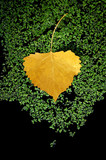 yellow aspen leaf, moss poster