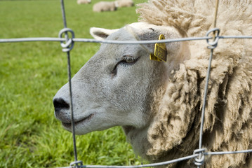 close head of a sheep