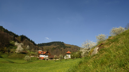 baumblüte im schwarzwald