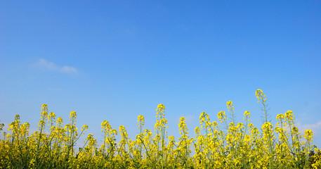 colza et  ciel bleu