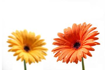 fiori giallo e rosso con gocce d'acqua
