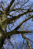looking up into a bare tree poster