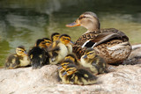 mama duck with ten baby ducks poster