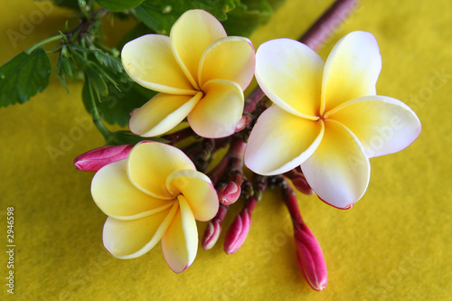 In de dag Frangipani yellow plumeria