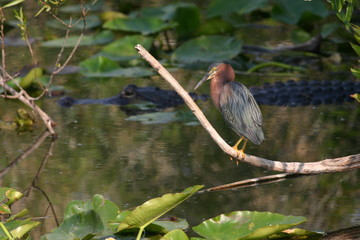 green heron with alligator in background