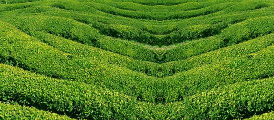 grüner tee, korea.