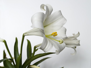 easter lilly study