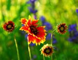indain blanket flowers poster