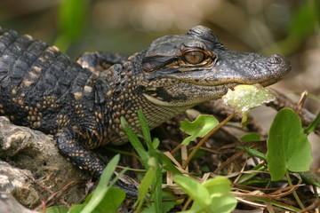 american alligator baby