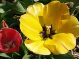 contraste et tulipes poster