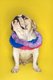 english bulldog wearing a lei sitting on yellow background. poster