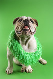 english bulldog wearing lei sitting on green background. poster