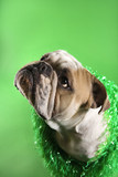 english bulldog with serious expression wearing lei on green bac poster
