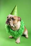 english bulldog wearing lei and party hat on green background. poster