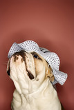 english bulldog looking up wearing a bonnet. poster