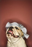 smiling english bulldog wearing a bonnet. poster
