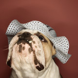 english bulldog wearing a bonnet. poster
