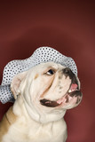 happy english bulldog wearing a bonnet. poster