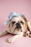 english bulldog on pink background wearing a  bonnet. poster