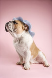 english bulldog on pink background wearing bonnet. poster