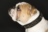 english bulldog profile wearing spiked collar. poster