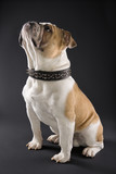 sitting english bulldog wearing spiked collar. poster