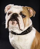 head shot of english bulldog wearing spiked collar. poster