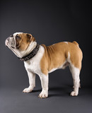 profile of standing english bulldog wearing spiked collar. poster