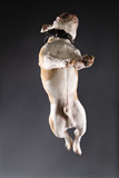english bulldog leaping. poster