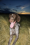german shorthaired pointer panting in field. poster