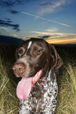 german shorthaired pointer laying in field. poster