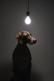 german shorthaired pointer with lightbulb over head. poster