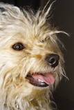 Portrait of mixed breed dog smiling. poster