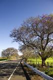 Road and Jacaranda tree in Haleakala National Park, Maui, Hawaii poster