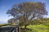 Road with Jacaranda tree in Maui, Hawaii. poster