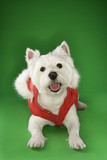 White terrier dog dressed in red coat. poster
