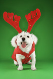 White terrier dog dressed in red coat wearing antlers. poster